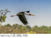 Купить «Beautiful Painted Stork (Mycteria leucocephala), Anuradhapura, Sri Lanka, Asia», фото № 25906109, снято 23 июля 2019 г. (c) BE&W Photo / Фотобанк Лори