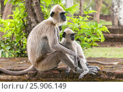 Купить «Gray langurs or Hanuman langurs, the most widespread langurs of the Indian Subcontinent, are a group of Old World monkeys, Polonnaruwa, Sri Lanka», фото № 25906149, снято 25 мая 2019 г. (c) BE&W Photo / Фотобанк Лори