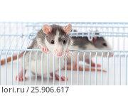 Купить «Маленькие симпатичные крысы в решетчатой клетке.», фото № 25906617, снято 17 сентября 2019 г. (c) Olesya Tseytlin / Фотобанк Лори