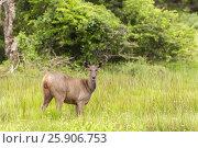Купить «Sri Lankan sambar deer (Rusa unicolor unicolor) Yala National Park, Sri Lanka, Asia», фото № 25906753, снято 19 октября 2019 г. (c) BE&W Photo / Фотобанк Лори