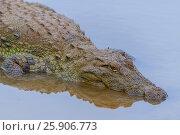 Купить «The saltwater crocodile (Crocodylus porosus), also known as the estuarine crocodile, Indo-Pacific crocodile, Yala National Park, Sri Lanka», фото № 25906773, снято 16 июля 2019 г. (c) BE&W Photo / Фотобанк Лори