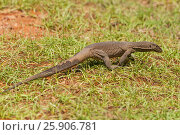 Купить «Monitor lizard (Varanus), Sri Lanka, Yala National Park», фото № 25906781, снято 19 ноября 2019 г. (c) BE&W Photo / Фотобанк Лори