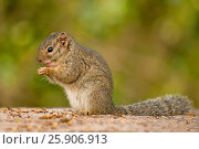 Купить «The African bush squirrels are a genus, Paraxerus, squirrels of the subfamily Xerinae. They are only found in Africa. Aberdare National Park, Kenya», фото № 25906913, снято 21 февраля 2019 г. (c) BE&W Photo / Фотобанк Лори