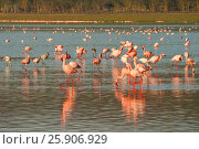 Купить «The lesser flamingoes (Phoenicopterus minor) at lake Nakuru, Kenya», фото № 25906929, снято 25 марта 2019 г. (c) BE&W Photo / Фотобанк Лори