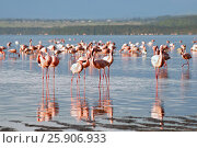 Купить «The lesser flamingoes (Phoenicopterus minor) at lake Nakuru, Kenya», фото № 25906933, снято 25 марта 2019 г. (c) BE&W Photo / Фотобанк Лори