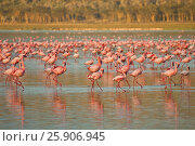 Купить «The lesser flamingoes (Phoenicopterus minor) at lake Nakuru, Kenya», фото № 25906945, снято 25 марта 2019 г. (c) BE&W Photo / Фотобанк Лори