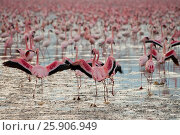 Купить «The lesser flamingoes (Phoenicopterus minor) at lake Nakuru, Kenya», фото № 25906949, снято 25 марта 2019 г. (c) BE&W Photo / Фотобанк Лори