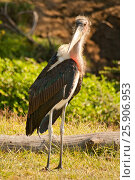Купить «Marabou Stork (Leptoptilos crumeniferus), Lake Nakuru, Kenya», фото № 25906953, снято 23 июля 2019 г. (c) BE&W Photo / Фотобанк Лори