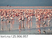 Купить «The lesser flamingoes (Phoenicopterus minor) at lake Nakuru, Kenya», фото № 25906957, снято 25 марта 2019 г. (c) BE&W Photo / Фотобанк Лори