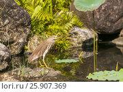 Купить «The Chinese pond heron (Ardeola bacchus) is an East Asian freshwater bird of the heron family, Thailand», фото № 25907369, снято 18 октября 2018 г. (c) BE&W Photo / Фотобанк Лори