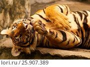 Купить «Bengal tiger (Panthera tigris), Bangkok zoo, Thailand», фото № 25907389, снято 23 августа 2019 г. (c) BE&W Photo / Фотобанк Лори