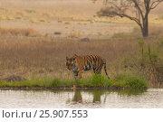 Купить «The Bengal tiger (Panthera tigris tigris) on the lake shore in Ranthambore National Park, India», фото № 25907553, снято 23 августа 2019 г. (c) BE&W Photo / Фотобанк Лори