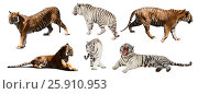 Купить «set of white and yellow tigers. Isolated over white», фото № 25910953, снято 20 февраля 2020 г. (c) Яков Филимонов / Фотобанк Лори