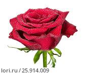Купить «Цветок темно красной розы в каплях воды на белом фоне изолировано», фото № 25914009, снято 6 апреля 2017 г. (c) Наталья Волкова / Фотобанк Лори