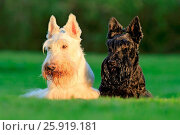 Купить «Scottish terrier», фото № 25919181, снято 19 августа 2016 г. (c) easy Fotostock / Фотобанк Лори