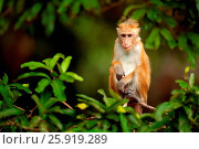 Купить «Macaque», фото № 25919289, снято 26 октября 2016 г. (c) easy Fotostock / Фотобанк Лори