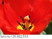 Тюльпан. Стоковое фото, фотограф Геннадий Окатов / Фотобанк Лори