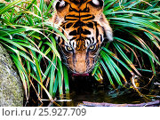A Siberian tiger drinks between planting and bushes. Стоковое фото, фотограф Zoonar/S.Detel / age Fotostock / Фотобанк Лори