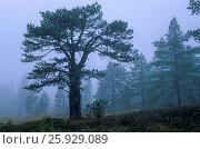 Купить «Kiefern im Nebel auf dem Transtrandsfjaellen / Pines in fog on the Transtrandsfjaellen / Vaermlands Laen - Schweden», фото № 25929089, снято 16 июля 2019 г. (c) age Fotostock / Фотобанк Лори
