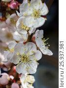 Bright cherry blossom flowers closeup on dark background. Стоковое фото, фотограф Жданова Дарья Юрьевна / Фотобанк Лори