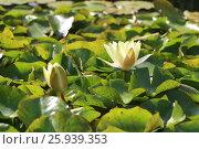 Водная лилия. Стоковое фото, фотограф Ирина Садовская / Фотобанк Лори