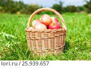 Купить «Плетеная корзина из лозы со спелыми свежими яблоками стоит на траве в саду», фото № 25939657, снято 26 сентября 2018 г. (c) FotograFF / Фотобанк Лори