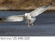 Купить «Хохотунья. Yellow-legged Gull (Larus cachinnans). The species of bird is identificated rough.», фото № 25940329, снято 26 марта 2017 г. (c) Василий Вишневский / Фотобанк Лори