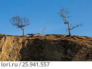 Купить «Три лиственницы на острове Ольхон, озеро Байкал», фото № 25941557, снято 12 марта 2017 г. (c) Илья Бесхлебный / Фотобанк Лори