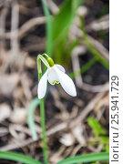 Купить «Цветущий подснежник, или Галантус ( Galánthus) весной в лесу», фото № 25941729, снято 6 апреля 2017 г. (c) Алёшина Оксана / Фотобанк Лори