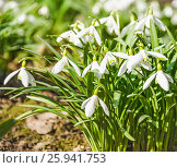 Купить «Подснежник Воронова (Galanthus woronowii) в лесу», фото № 25941753, снято 6 апреля 2017 г. (c) Алёшина Оксана / Фотобанк Лори