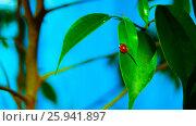 Божья коровка на листе фикуса. Стоковое фото, фотограф Игорь Шалагин / Фотобанк Лори