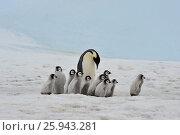 Купить «Emperor Penguins with chicks», фото № 25943281, снято 1 ноября 2010 г. (c) Vladimir / Фотобанк Лори