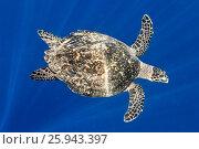 Купить «Sea Turtle», фото № 25943397, снято 19 августа 2018 г. (c) М / Фотобанк Лори