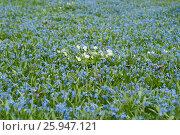 Купить «Сцилла двулистная Таурика или пролеска (Scilla bifolia ) и белые анемоны  на поляне ранней весной. Фокус на белых цветах», эксклюзивное фото № 25947121, снято 8 апреля 2017 г. (c) Svet / Фотобанк Лори
