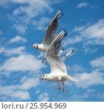 Балтийские чайки в полете. Стоковое фото, фотограф Олег Пученков / Фотобанк Лори