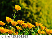 Купить «Spring flowers of calendula under soft morning sunlight», фото № 25954985, снято 22 августа 2018 г. (c) Зезелина Марина / Фотобанк Лори