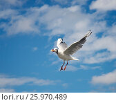 Балтийская чайка в небе с куском хлеба в клюве. Стоковое фото, фотограф Олег Пученков / Фотобанк Лори
