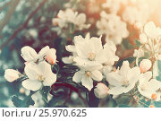 Цветущая яблоня, весенний пейзаж в винтажных тонах, фото № 25970625, снято 17 мая 2016 г. (c) Зезелина Марина / Фотобанк Лори