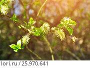 Весенний пейзаж - пушистые почки ивы крупным планом в солнечном весеннем лесу, фото № 25970641, снято 5 мая 2016 г. (c) Зезелина Марина / Фотобанк Лори
