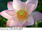 Лотос (Lotus) Стоковое фото, фотограф Владимир Борисов / Фотобанк Лори