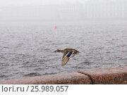 Купить «Утка летит над рекой Невой в снегопад», фото № 25989057, снято 13 апреля 2017 г. (c) Евгений Кашпирев / Фотобанк Лори