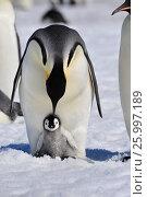Купить «Emperor Penguins with chick», фото № 25997189, снято 31 октября 2010 г. (c) Vladimir / Фотобанк Лори