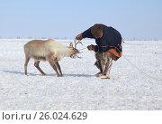 Купить «Ненцы загоняют северных оленей, и заарканят для упряжки саней, мужчина поймал оленя за рога», фото № 26024629, снято 16 апреля 2017 г. (c) Evgenii Mitroshin / Фотобанк Лори