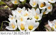 Honey bees collect nectar on crocuses. Стоковое видео, видеограф Станислав Сергеев / Фотобанк Лори