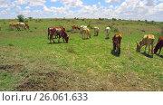 Купить «cows gazing in savanna at africa», видеоролик № 26061633, снято 22 марта 2017 г. (c) Syda Productions / Фотобанк Лори