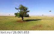 Купить «eagle flying away from tree in savannah at africa», видеоролик № 26061653, снято 21 марта 2017 г. (c) Syda Productions / Фотобанк Лори