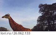 Купить «couple of giraffes in savannah at africa», видеоролик № 26062133, снято 28 марта 2017 г. (c) Syda Productions / Фотобанк Лори