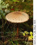 Гриб зонтик в лесу. Стоковое фото, фотограф Екатерина Пономарева / Фотобанк Лори
