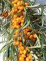 Плоды облепихи, фото № 26062481, снято 4 октября 2009 г. (c) Анатолий Заводсков / Фотобанк Лори