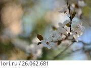 Купить «Цветущая вишня», фото № 26062681, снято 19 августа 2018 г. (c) Юрий Фатеев / Фотобанк Лори
